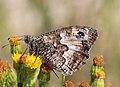 Noordwijk - Heivlinder (Hipparchia semele) v3.jpg