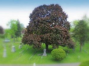 Oakwood Cemetery (Niagara Falls, New York) - Red Maple at Oakwood Cemetery