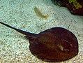 Oceanarium rayfish.JPG