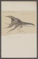 Octopus velatus - - Print - Iconographia Zoologica - Special Collections University of Amsterdam - UBAINV0274 090 03 0011.tif