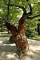 Old Cherry Tree (Sakura) (2616152793).jpg