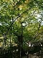 Old camphor tree at Niiyama Shrine in Kanzaki.jpg