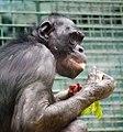Older bonobo (5082011493).jpg