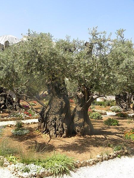 File:Olives in Gethsemane.jpg