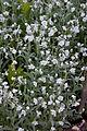 Omphalodes linifolia - Floraison.jpg