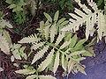 Onoclea sensibilis3.jpg