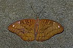 Open wing position of Female Tanaecia julii Lesson, 1837 – Common Earl WLB 1E7A1525.jpg
