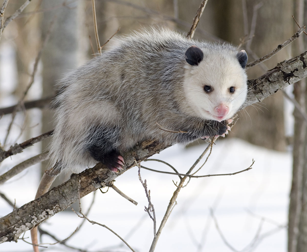 Virginia opossum - Wikipedia