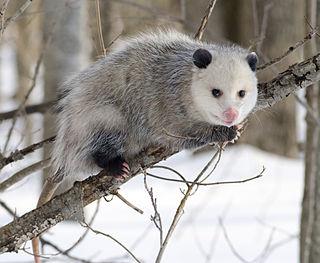 Opossum family of mammals