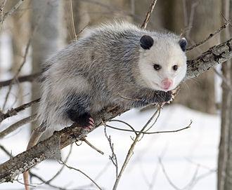 Opossum - Virginia opossum (Didelphis virginiana)