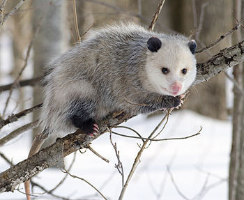 English: North American Opossum with winter co...
