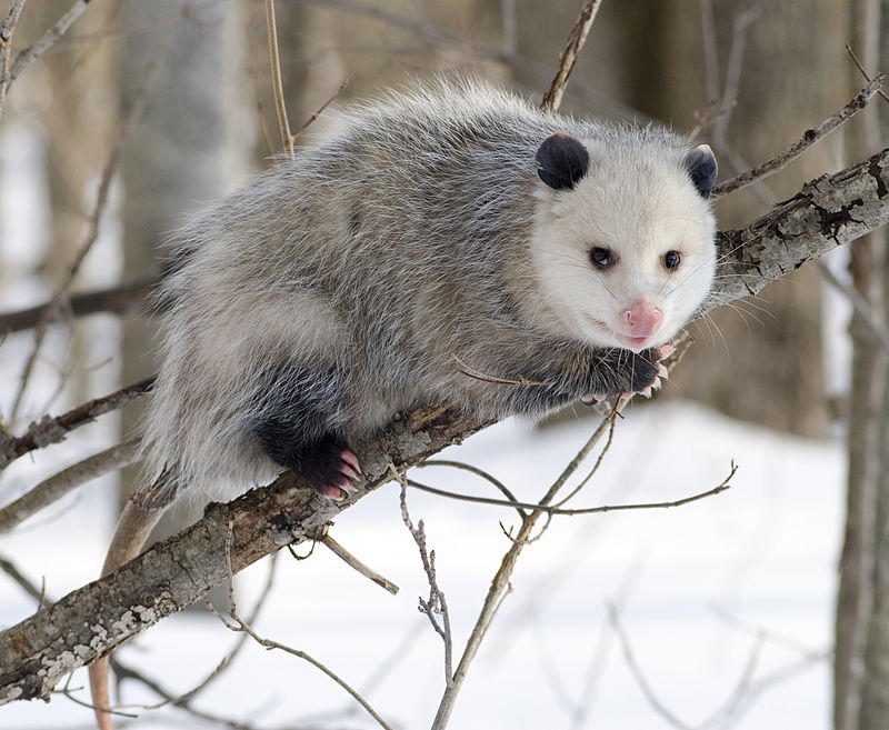 800px-Opossum_2.jpg