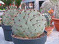 Opuntia azurea in a garden centre 1.jpg