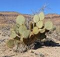 Opuntia chlorotica 7.jpg