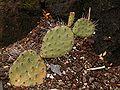 Opuntia phaeacantha 01 ies.jpg