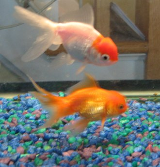 Oranda - common colors in an oranda. The top one possessed a Tancho coloration while the bottom is orange.