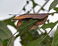 Orange Oakleaf (Kallima inachus) at Samsing, Duars, West Bengal W IMG 6230.jpg