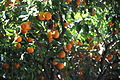 Oranges, University of Barcelona.jpg
