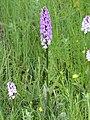 OrchidVoirons4.JPG