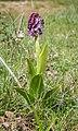 Orchis purpurea in Aveyron (10).jpg