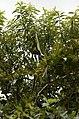 Oriental Darter Anhinga melanogasterfrom Ranganathittu Bird Sanctuary JEG4419.JPG