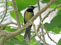 Oriole Warbler RWD4.jpg