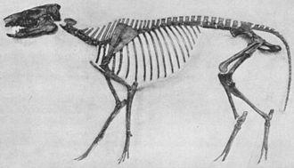 Protorohippus - P. venticolum skeleton