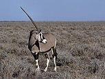 Oryx gazella (Gemsbok).jpg