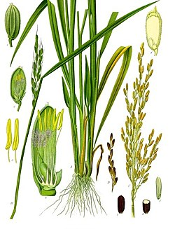 Oryza sativa (Arroz)