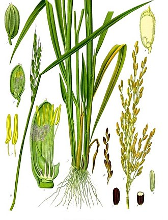 Botany - A nineteenth-century illustration showing the morphology of the roots, stems, leaves and flowers of the rice plant Oryza sativa