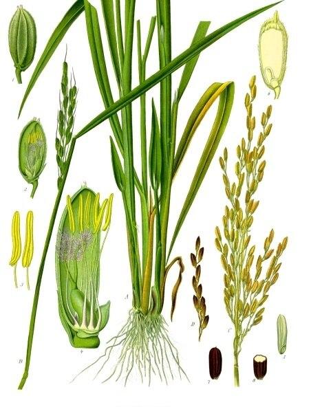 Oryza sativa - Köhler–s Medizinal-Pflanzen-232