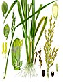 Colour image of a 19th-century illustration of the morphology of a rice plant