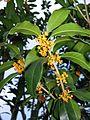 Osmanthus fragrans var. aurantiacus.JPG