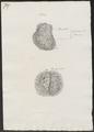 Ovis aries - voortplantingsorganen - 1700-1880 - Print - Iconographia Zoologica - Special Collections University of Amsterdam - UBA01 IZ21300147.tif