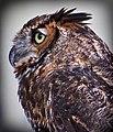 Owl profile (7763967334).jpg