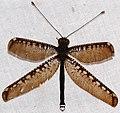 Owlfly (Haploglenius decorus) (27932677919).jpg