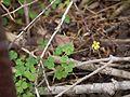 Oxalis corniculata (10023424226).jpg