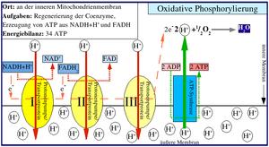 Peter D. Mitchell - Oxidative phosphorylation