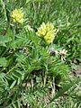 Oxytropis pilosa sl21.jpg