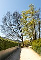 Pörtschach Johannaweg Promenade Parkbäume 15042020 8731.jpg