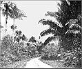 PSM V86 D050 Entrance to castleton gardens with attalaea palm.jpg