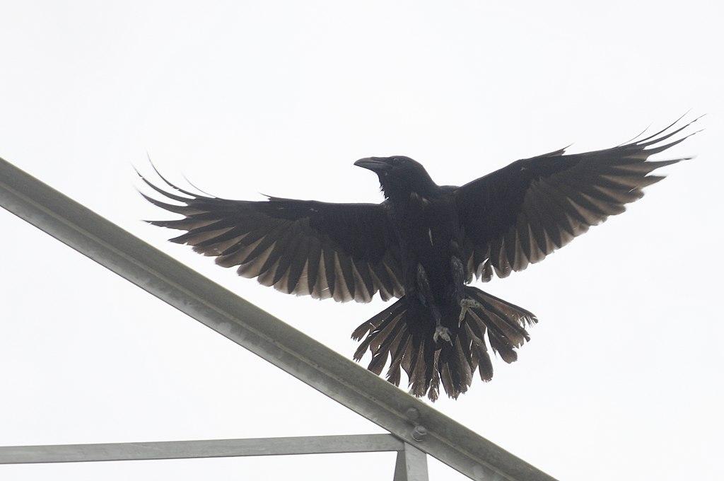 P Raven DSC0339