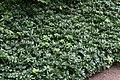 Pachysandra terminalis Green Sheen 2zz.jpg