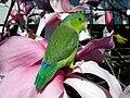 Pacific Parrotlet (Forpus coelestis) -pet-8a.jpg