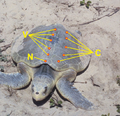 Padre Island National Seashore - Kemps Ridley Sea Turtle tags.png
