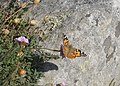 Painted Lady butterfly (Vanessa cardui) on Sea Pink flowers - geograph.org.uk - 1331344.jpg