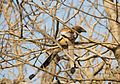 Pair of common treepie in Gir forest.jpg