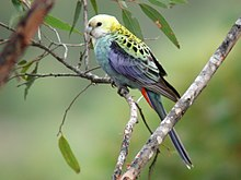 Pale-headed Rosella kob02.JPG