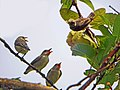 Pale billed flowerpeckers (16823305393).jpg