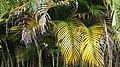 Palmeira verde e amarela.jpg